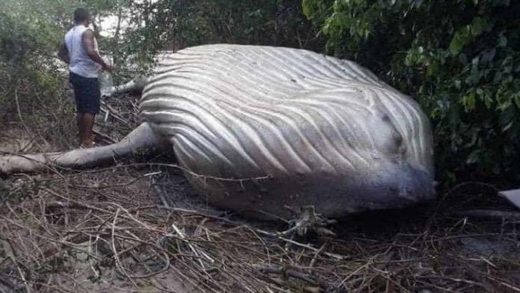 Aliens? Iniciativa Dharma? Baleia jubarte é encontrada em área de mata no Pará