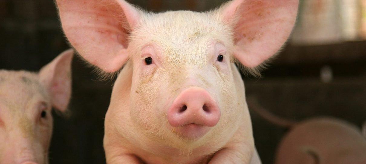 Cientistas restauram funções de cérebros de porcos horas depois da morte