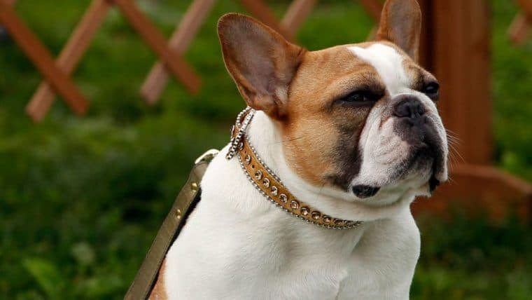 Modern Family | Morre Buldogue que interpretou a cachorrinha Stella