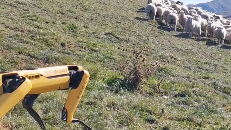 Robô da Boston Dynamics está sendo usado para pastorear ovelhas