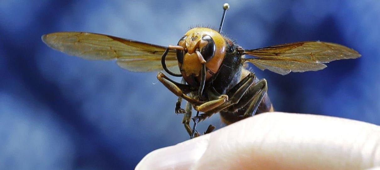 Afinal, qual o perigo real que as vespas assassinas representam?