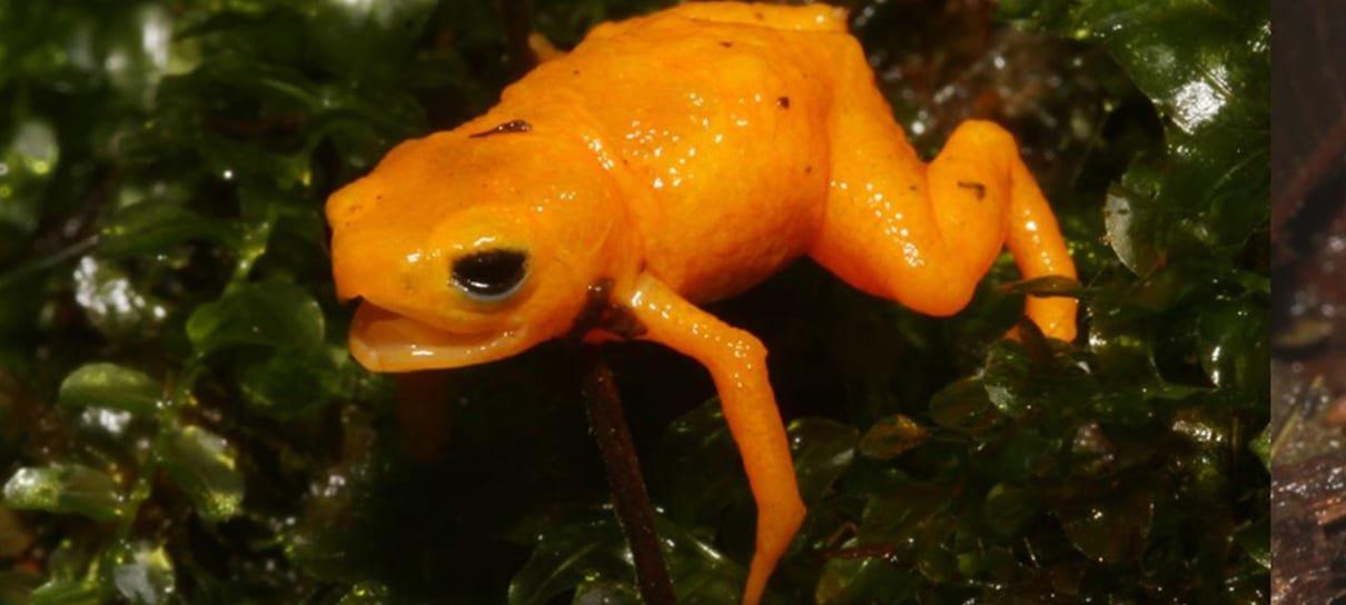 Nova espécie de sapo neon venenoso é descoberta no Brasil